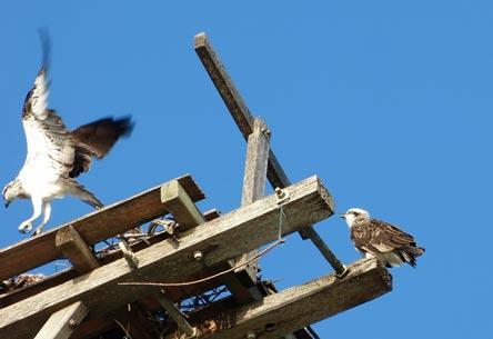Osprey-pair-(650px)