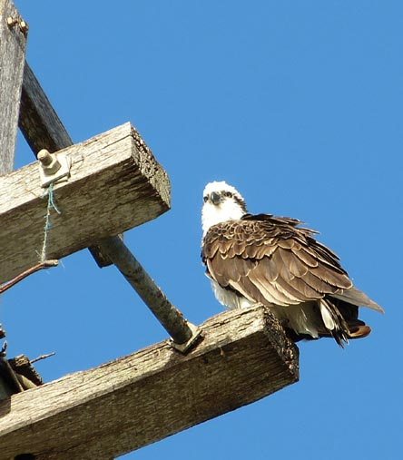 Osprey-waiting