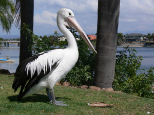 The Secret Diet of Pelicans