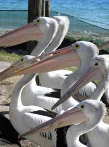 * Feeding Pelicans