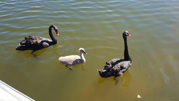 Swan, CI Waters family