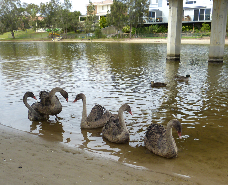 cygnets-miami-lake-5