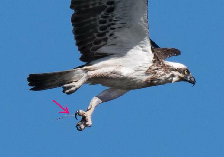 osprey-delores1
