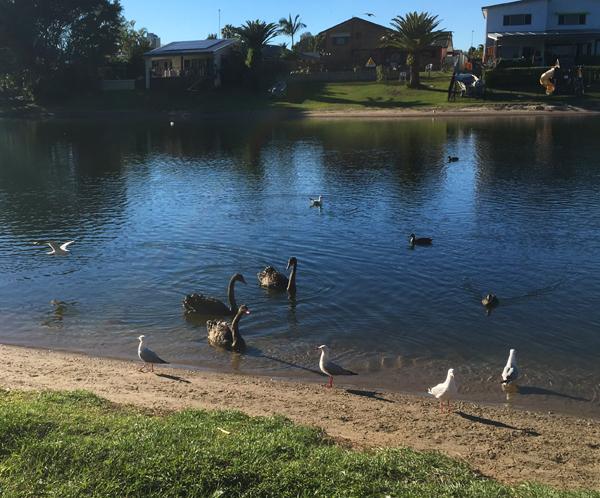 swans-burliegh4-sept-16
